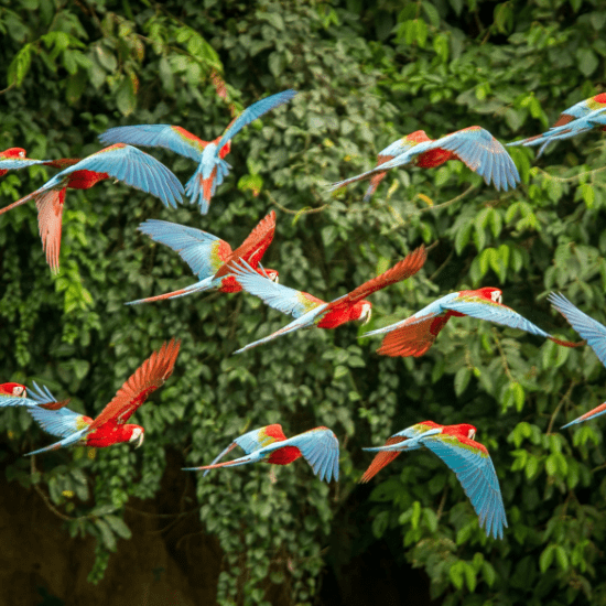 Parrots flying at Montecasino Bird Gardens